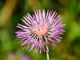 Beautiful flower of wild thistle