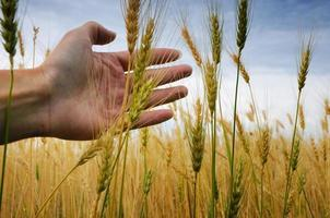 The hands of the wheat photo