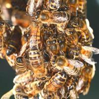 close-up van bijen die op honingraat in bijenstal hangen