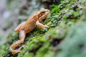 European common frog photo