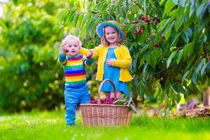 Adorable kids picking cherry fruit on a farm
