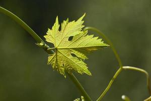 Vine leaves in blurred background