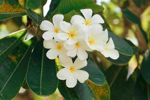 Bunch of white plumeria