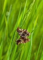 Mating butterflies photo