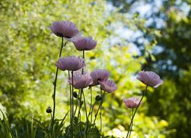 Poppy flowers photo