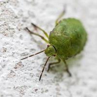 Bedbug sitting on a stone photo
