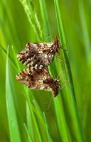 la pareja cría de mariposas