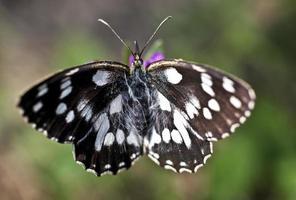 melanargia galathea mariposa foto