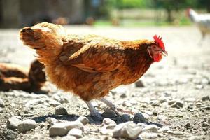 pollos en granja avícola tradicional de corral
