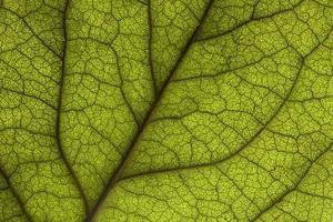 Macro Backlit Rose Leaf