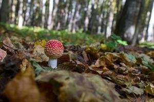 cogumelo amanita na floresta