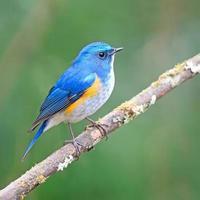 Himalayan Bluetail photo
