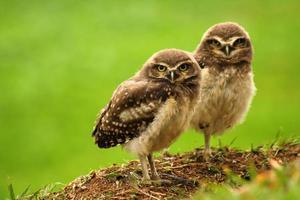 Babies Burrowing Owls photo