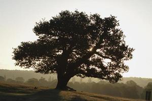 Rising sun beyond dark oak tree with sunburst photo