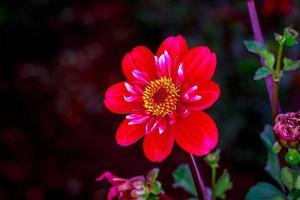 hermosa dalia en el jardín