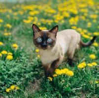 cat dandelion photo