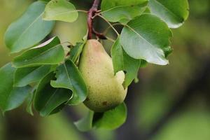 Harvest pears on the tree