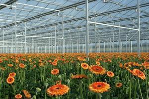 Modern greenhouse with orange gerberas