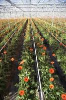 flores de gerbera naranja en invernadero