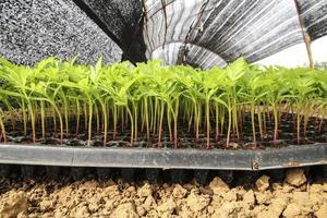 Marigold seedlings photo