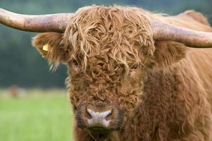 Close up portrait of a highland cattle