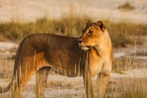 Lioness watches tourists as photographer takes close-up picture