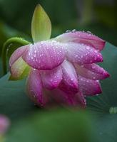 FLOWER: Close up beautiful blooming lotus with leaves water drop