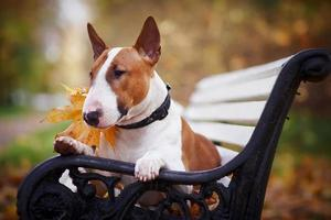 The red bull terrier lies on a bench photo