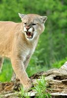 Closeup of a large Mountain Lion snarling.