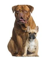 Dogue de Bordeaux panting and French bulldog puppy sitting