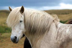 Head of white Icelandic horse