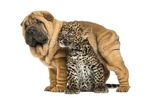 Shar pei puppy standing over a spotted Leopard cub, isolated