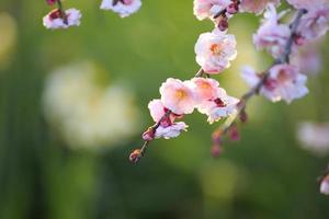 Beautiful plum flowers photo