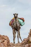 camello foto