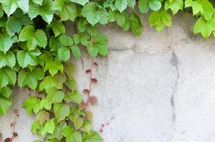 closeup of Lush ivy covered a wall