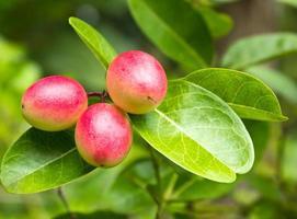 Crimson fruit or Carissa carandas L. photo