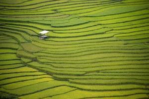Rice farm Vietnam photo