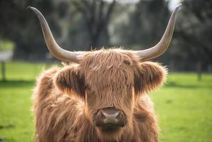 The highland cow in Australia. photo