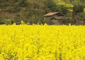 Oilseed rape field at Jiangxi photo