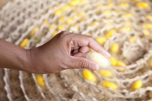 Gold silkworm cocoon photo