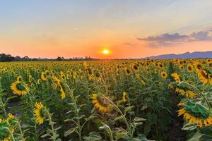 beautiful sunflowers in spring field photo