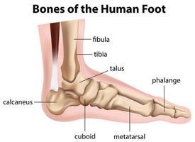 Bones of the human foot diagram  vector