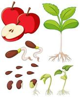 Manzanas rojas con semillas y diagrama de crecimiento de árboles