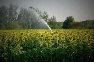 watering sunflower field