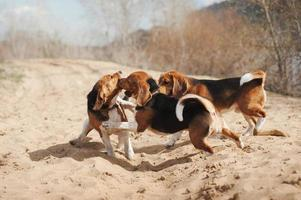 Group of funny beagle dog running