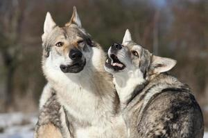 Czechoslovakian wolfdog courting a Saarloos bitch