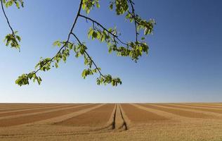 Endless wheatfield