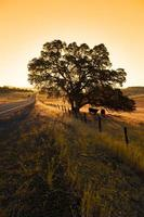 Lone Oak Tree and Cattle