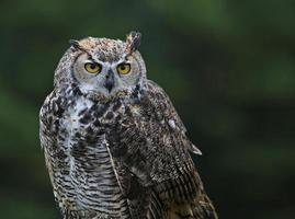 Great Horned Owl Profile photo