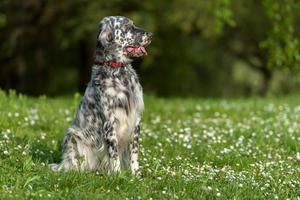 Cute English Setter dog is sitting in a spring meadow